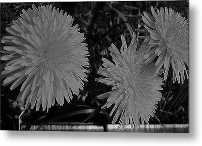 Metal Print featuring the photograph Dandelion Weeds? B/w by Martin Howard