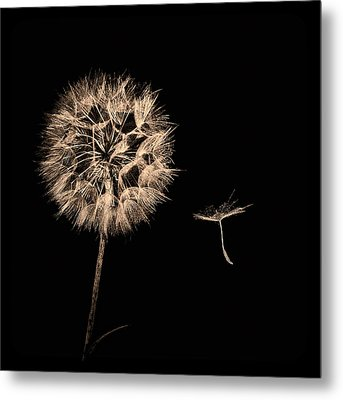 Dandelion With Seed Metal Print