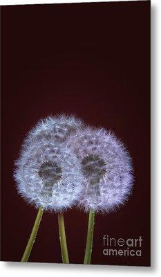 Dandelions Metal Print by Donald Davis