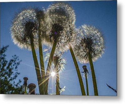 Dandelions In The Sun Metal Print by Adam Budziarek