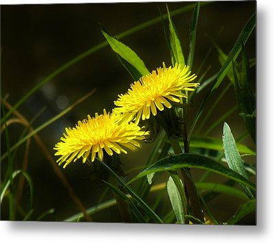 Metal Print featuring the photograph Dandelions by Sherman Perry