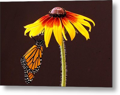 Dangling Monarch Metal Print by Jean Noren