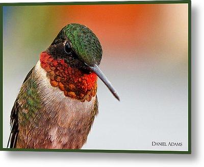 Da162 Hummingbird Thinking By Daniel Adams Metal Print