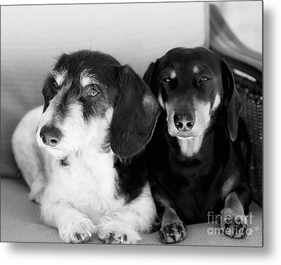 Dapper Doxies Metal Print