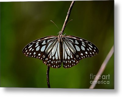 Dark Glassy Tiger Butterfly On Branch Metal Print by Imran Ahmed