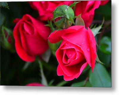 Dark Pink Roses #1 Metal Print