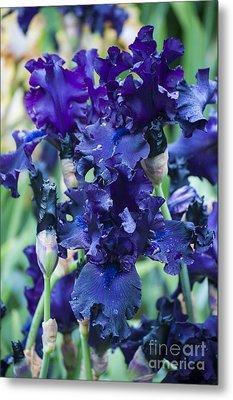 Dark Purple Iris Metal Print