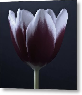 Black And White Purple Tulips Flowers Art Work Photography Metal Print