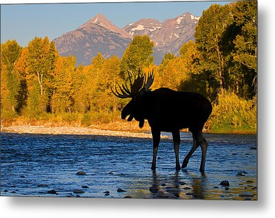 Metal Print featuring the photograph Dark Side Moose                               by Aaron Whittemore
