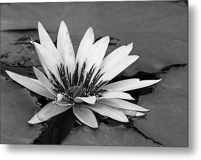 Metal Print featuring the photograph Dark Throated Beauty II by Dawn Currie