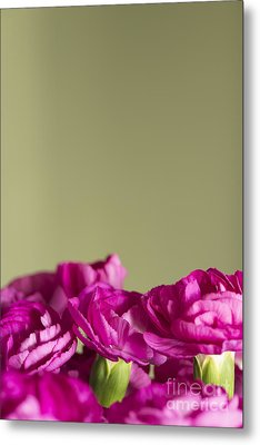 Darling Dianthus Metal Print by Anne Gilbert