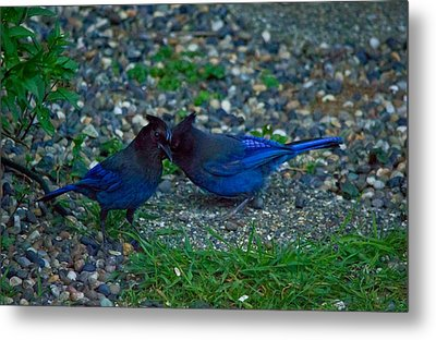 Darling I Have To Tell You A Secret-sweet Stellar Jay Couple Metal Print