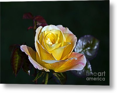 Metal Print featuring the photograph Day Breaker Rose by Kate Brown