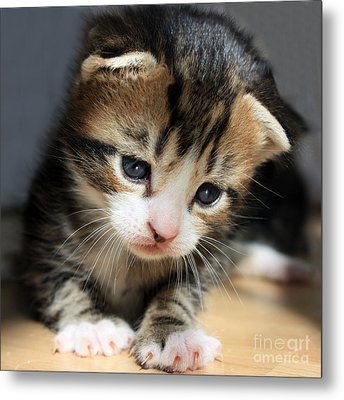 Metal Print featuring the photograph Daydreamer Kitten by Terri Waters