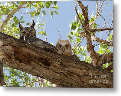 Daytime Roost Metal Print by Lula Adams