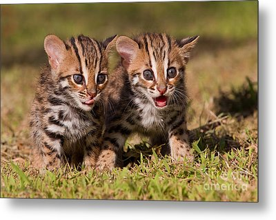 Dazed And Confused Metal Print by Ashley Vincent