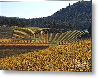 golden vines-Victoria-Australia Metal Print