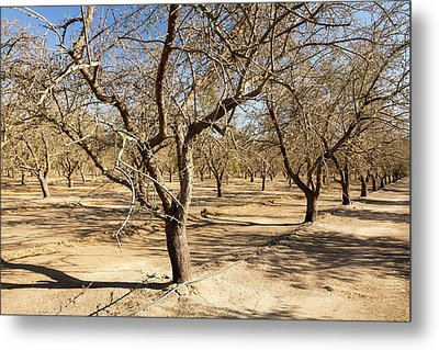 Dead And Dying Almond Trees Metal Print