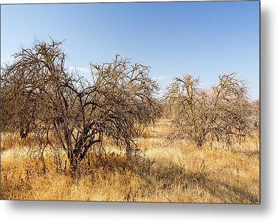 Dead And Dying Orange Trees Metal Print by Ashley Cooper
