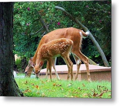 Deer And Fawn Metal Print by Adam L