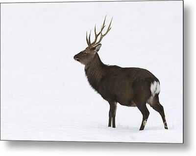 Deer In Snow Metal Print by Maurizio Bacciarini