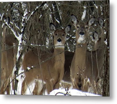 Metal Print featuring the photograph Deer Posing For Picture by Eric Switzer