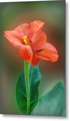 Delicate Red-orange Canna Blossom Metal Print by Linda Phelps
