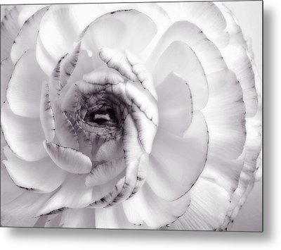 Delicate - White Rose Flower Photograph Metal Print by Artecco Fine Art Photography