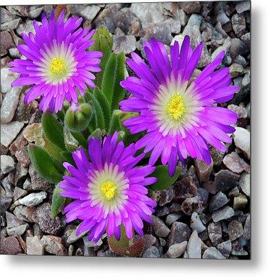 Delosperma Ashtonii Flowers Metal Print by Nigel Downer