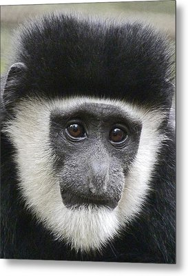 Demure Young Black And White Colobus Metal Print