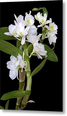 Dendrobium Nobile Orchid Metal Print