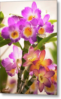 Dendrobium Nobile Orchid Metal Print by Maria Mosolova
