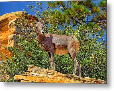 Desert Bighorn Sheep Metal Print by Greg Norrell