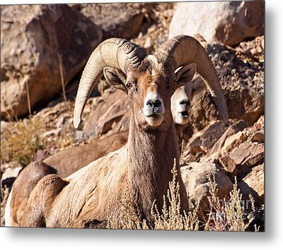 Desert Bighorn Sheep Metal Print