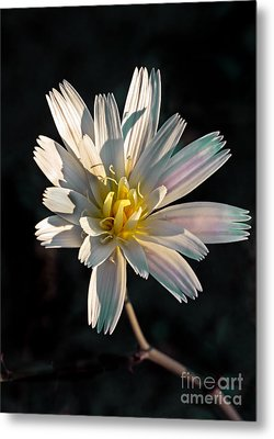 Desert Chicory Metal Print by Robert Bales