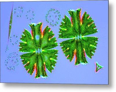 Desmids And Dictyosphaerium Green Algae Metal Print by Marek Mis