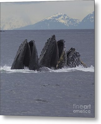 Detail Of Humpback Whales Feeding Metal Print by Tim Grams