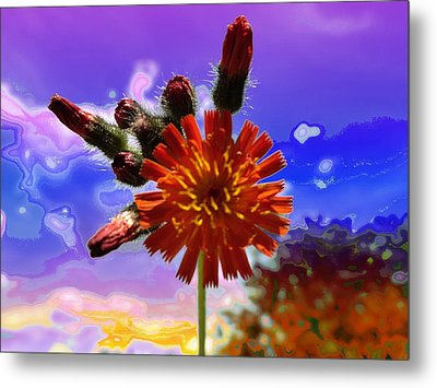 Devil's Paintbrush Metal Print