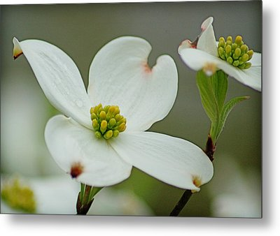 Dew-kissed Dogwood Metal Print by Linda Brown
