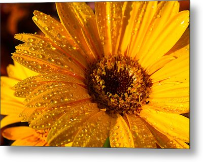 Metal Print featuring the photograph Dew On A Daisy by Richard Stephen