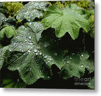 Metal Print featuring the photograph Dew On Leaves 2 by Tom Brickhouse