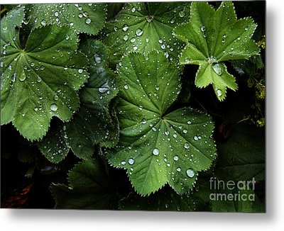 Metal Print featuring the photograph Dew On Leaves by Tom Brickhouse