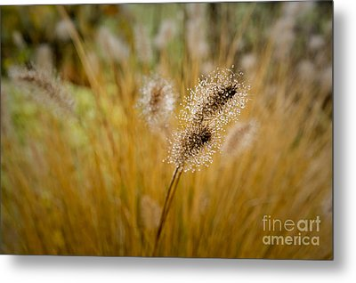 Dew On Ornamental Grass No. 4 Metal Print