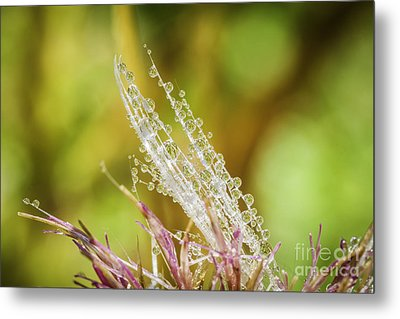 Dew On The Thistle Metal Print by Mitch Shindelbower