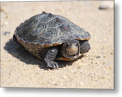 Diamondback Terrapin Turtle Metal Print by Diane Rada