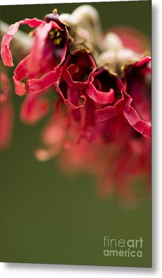 Diana The Hamamelis Metal Print by Anne Gilbert