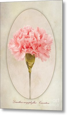 Dianthus Caryophyllus Carnation Metal Print by John Edwards