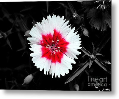 Dianthus Red And White Flower Decor Macro Color Splash Watercolor Digital Art Metal Print by Shawn O'Brien