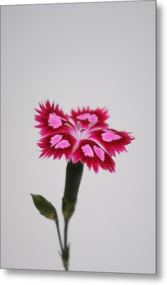 Dianthus Still Life Metal Print by Robert  Moss