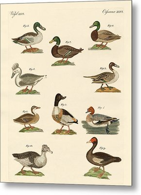 Different Kinds Of Ducks Metal Print
